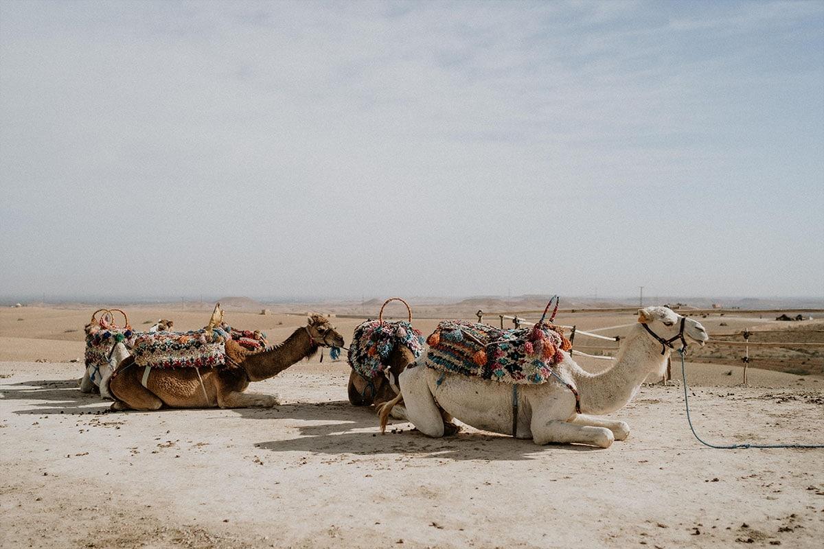 kamelen in de woestijn van marokko